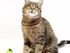 Просмотреть foto  Челита, веселая юная кошка-полосатка, 1г, 68768199 в Екатеринбурге