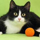 Симона, талантливая веселая кошка 9-10 мес