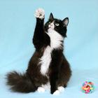 Муся-Обнимашка, очень ласковая кошка 3г