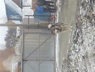 Потерялся кобель аляскинского маломута Окрас волчий, на морде маска. 20. 11. 201