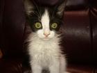 Фотография в   отдам котика, мальчик 1, 5 месяца, пушистый, в Евпатория 0