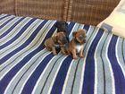 Фото в Собаки и щенки Продажа собак, щенков Продам шенков той-терьера, без прививок. в Евпатория 1000