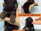 Фотография в   Продам великолепных щенят НЕМЕЦКОЙ ОВЧАРКИ! в Гаврилов-Яме 8000