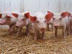 Свежее foto Другие животные Поросятана доращивание 34065009 в Гдове