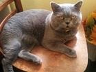 Свежее foto  Вязка с котом Шотландский кот 57556517 в Геленджике