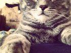 Изображение в Кошки и котята Вязка Кот опытный. Порода Скоттиш-страйт. Окрас в Тюмени 1000