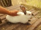 Просмотреть фото Грызуны продаются кролики калифорнийцы 69539129 в Георгиевске