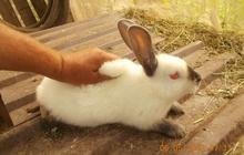 Продаются кролики калифорнийцы