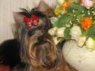 Фото в Собаки и щенки Продажа собак, щенков Красивые щеночки йоркширского терьера из в Губкинском 25000