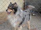 Фотография в Собаки и щенки Вязка собак Здоровый кобель колли мраморный 2, 5 года, в Ростове-на-Дону 0