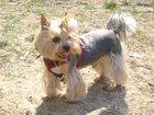 Фотография в Собаки и щенки Вязка собак Йоркширский терьер, стандарт, вес 4 кг. , в Хабаровске 0