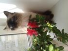 Свежее изображение Вязка Кошка ищет жениха 38589110 в Хабаровске