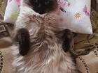 Смотреть фото  Кошка породв невская маскарадная 62628636 в Хабаровске