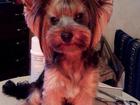 Фотография в Собаки и щенки Стрижка собак Предлагаю полный спектр груминг-услуг . - в Киреевске 800