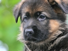 Уникальное фотографию Услуги для животных Дрессировка собак, ринг-тренинг, показ на выставках 27913315 в Щелково