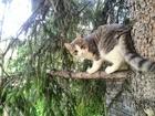 Кошечка ищет кота для вязки, возраст 1,5 года
