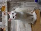 Белый кот Иннокентий ищет подругу
