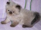 Фотография в Кошки и котята Продажа кошек и котят Продаются гималайские (персидские колор-пойнт) в Истре 0