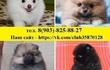 Поразительные щенки шпица продаются!   В