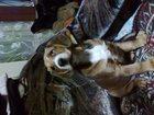 Фото в  Отдам даром - приму в дар Отдам щенка в хорошие руки, мальчик, возраст в Иваново 0