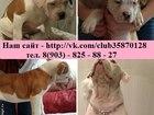 Изображение в Собаки и щенки Продажа собак, щенков Продам щеночков американского бульдога. Породистые в Иваново 0