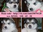 Изображение в Собаки и щенки Продажа собак, щенков В продаже чистокровные щеночки Аляскинского в Иваново 10000