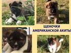 Фотки и картинки Акита-ину смотреть в Иваново
