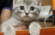 отдам британского котенка за шоколадку