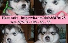 В продаже щеночки Аляскинского Маламута