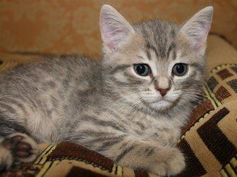 Новое изображение Отдам даром Срочно отдам британского котенка за шоколадку) 33095458 в Иваново