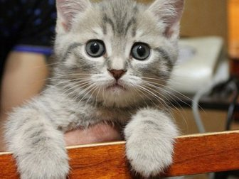 Смотреть изображение Отдам даром Срочно отдам британского котенка за шоколадку) 33095458 в Иваново