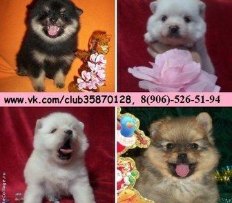 Фото в Собаки и щенки Продажа собак, щенков Шпица чистокровных и не чистокровных красивеееенных в Иваново 0
