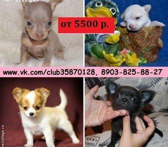 Фото в Собаки и щенки Продажа собак, щенков Чихуахуа чистокровных щеночков и чистокровных в Иваново 0