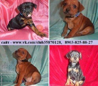 Фотография в Собаки и щенки Продажа собак, щенков КАРЛИКОВЫЕ ПИНЧЕРЫ красивеееееннных щенков в Иваново 0