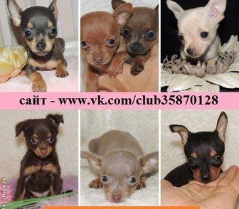 Фотография в Собаки и щенки Продажа собак, щенков ТОЙ-ТЕРЬЕРА красивееееенных щеночков разных в Иваново 0