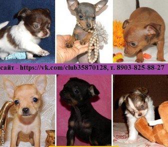 Фото в Собаки и щенки Продажа собак, щенков Чихуахуа чистокровных щеночков, Той-терьера в Иваново 0