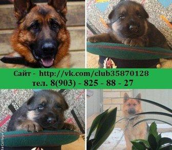 Фотография в Собаки и щенки Продажа собак, щенков НЕМЕЦКОЙ ОВЧАРКИ чистокровных крупных добротных в Иваново 0