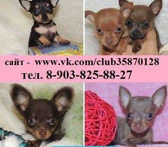 Фотография в Собаки и щенки Продажа собак, щенков Дёшево продам красивенных щенков той-терьера! в Иваново 6500