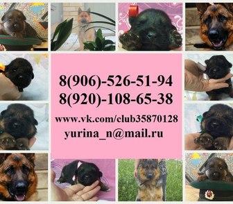 Фото в Собаки и щенки Продажа собак, щенков Продам недорого крупных чистокровных щенков в Иваново 0