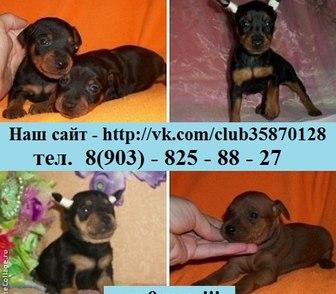 Фотография в Собаки и щенки Продажа собак, щенков Карликового пинчера (цвергпинчера) красивеньких в Иваново 0