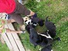 Изображение в Собаки и щенки Продажа собак, щенков Отдам здоровых безпородистых щенков 1, 5 в Ижевске 0