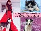 Фотография в Собаки и щенки Продажа собак, щенков Голубоглазые чёрно-белые щенятки хаски- в в Ижевске 0