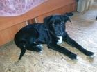 Уникальное фотографию Отдам даром - приму в дар отдам щенка, порода Старонемецкая пастушья собака (Шварцер альтдойч) 34483349 в Ижевске