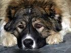 Фото в   Найдена большая, лохматая собака на садоогороде в Ижевске 0