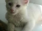 Фотография в Кошки и котята Продажа кошек и котят чистокровные котята мейн кун готовы переехать в Ижевске 5000