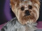 Уникальное foto Вязка собак Ищем девочку йорка для вязки 37792846 в Ижевске
