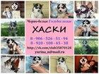 Фото в Собаки и щенки Продажа собак, щенков ХАСКИ ярких щеночков черно-белого и белого в Ижевске 0