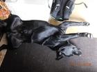 Смотреть фото Вязка собак Молодой лабрадор черный окажет свои услуги безвозмездно 66439563 в Ижевске