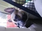 Просмотреть foto Вязка собак Ищем подругу для продолжения рода, 67859858 в Ижевске