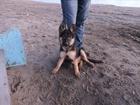 Новое фото  продаётся щенок немецкой овчарки 32561576 в Ярославле